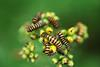 Orange and black striped caterpillars of the Cinnabar Moth, on wild yellow ragwort flowers