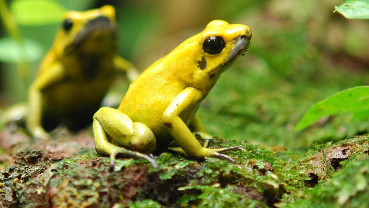 single mutation keeps lethal frog from poisoning itself research