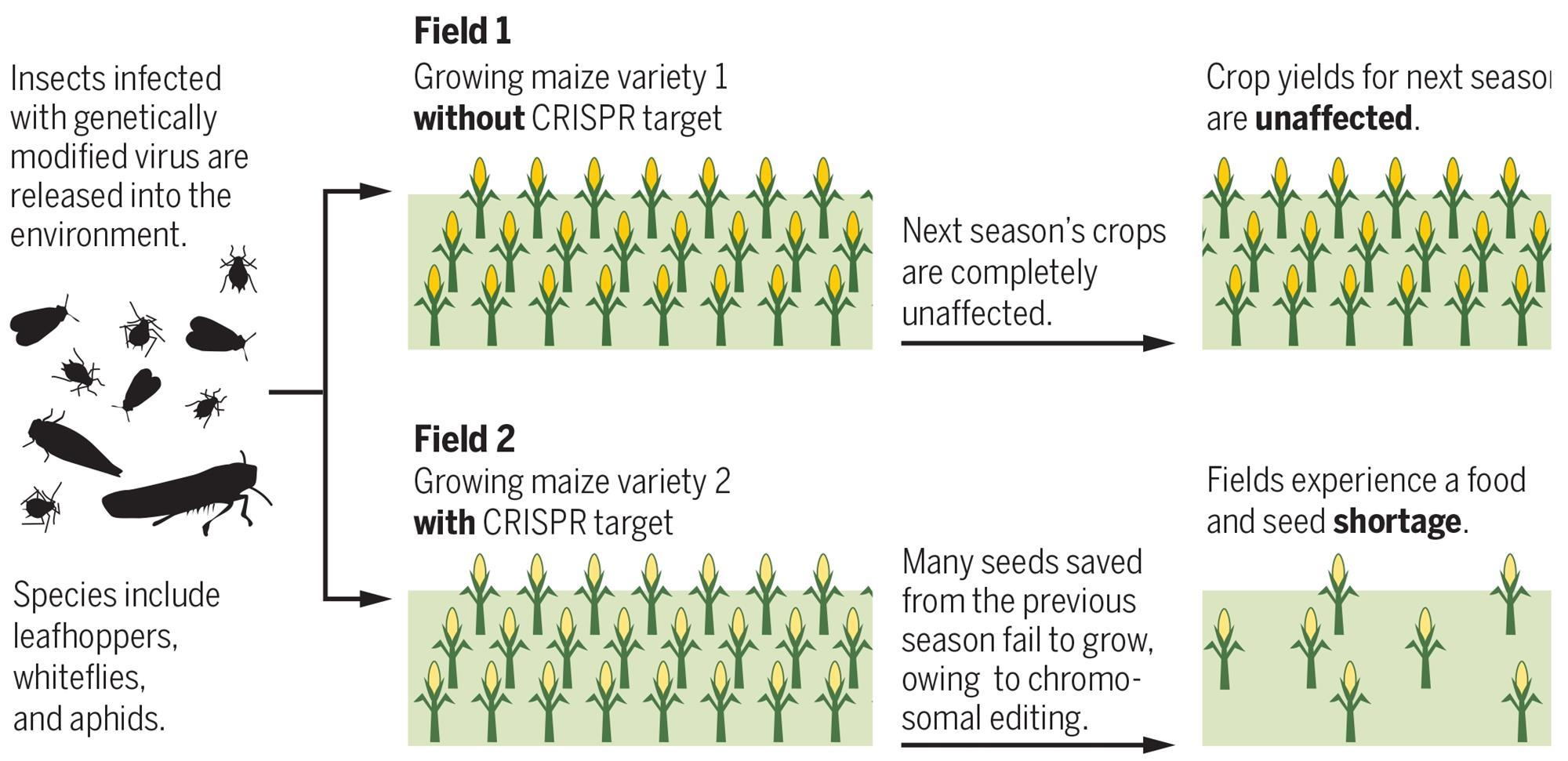 Pentagon S Pursuit Of Insect Delivered Genetic Modification Of Crops