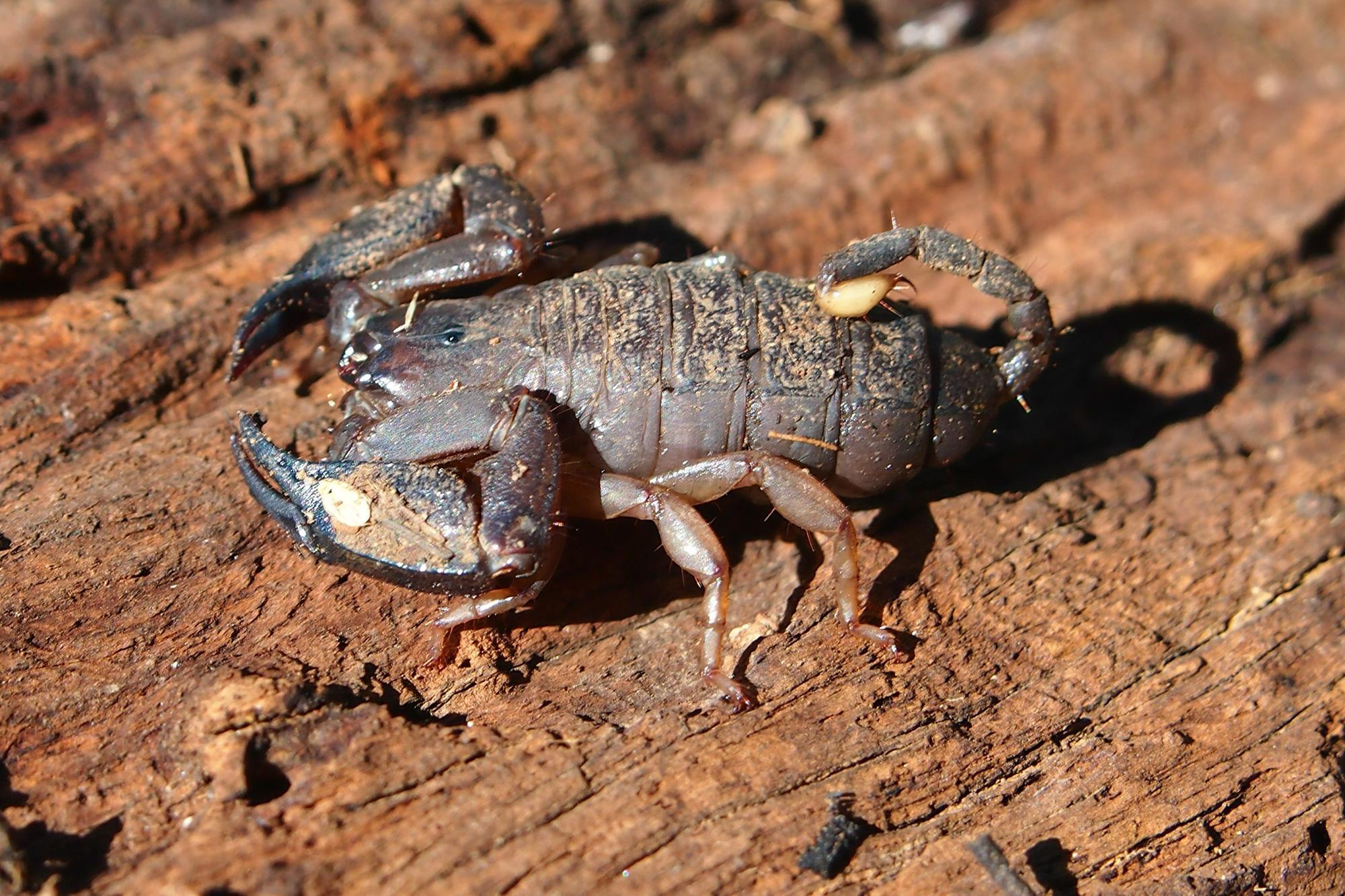 Scorpion fine-tunes its venom to ward off predators