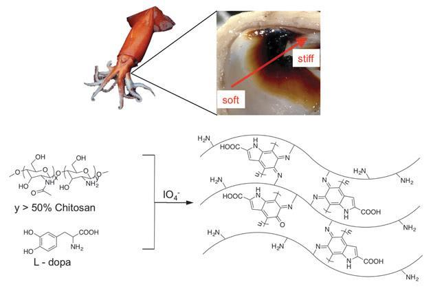 Squid Beak Diagram Electrical Work Wiring Diagram