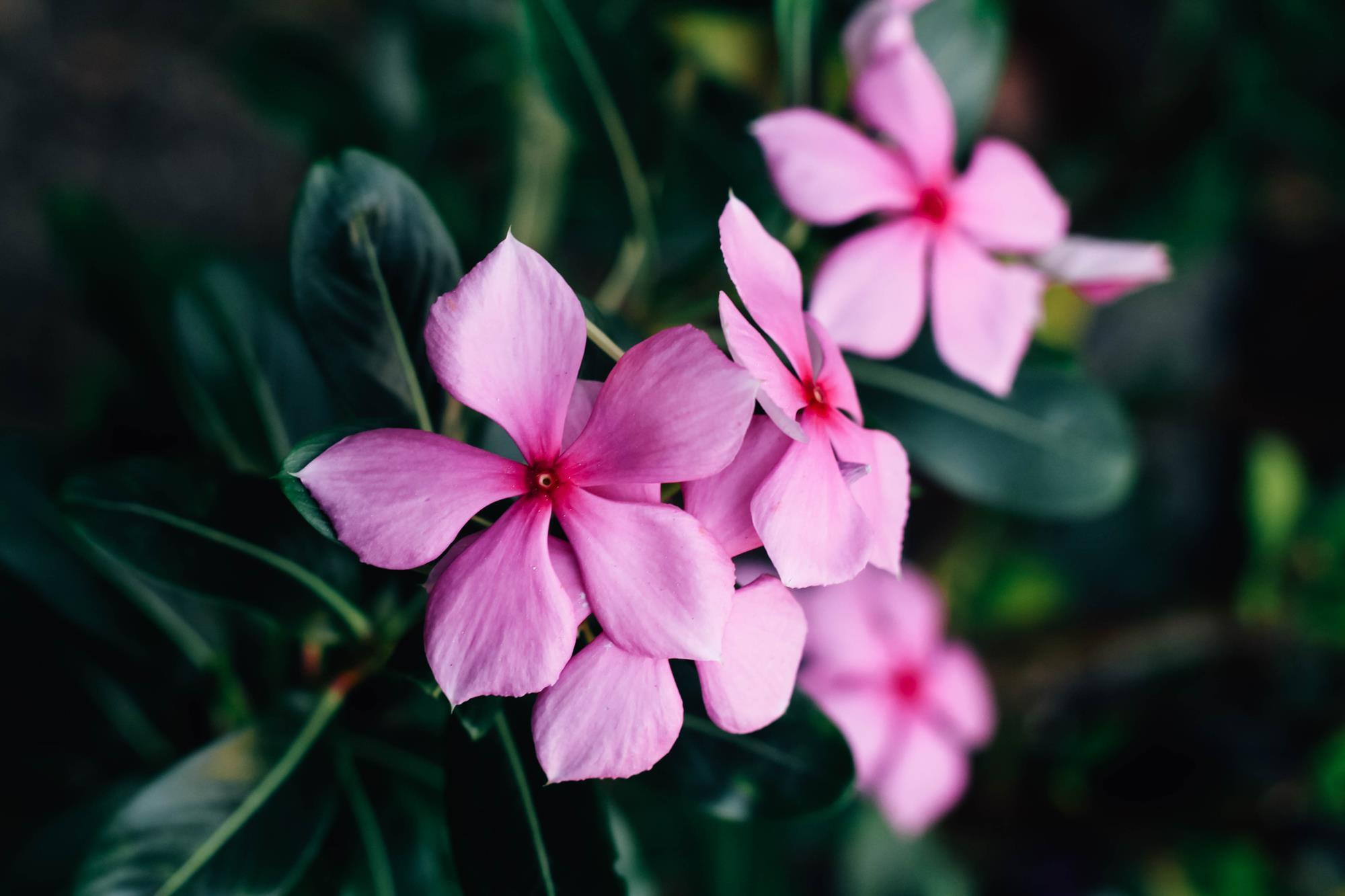 Periwinkle Flower For Diabetes - Cooler Home Designs