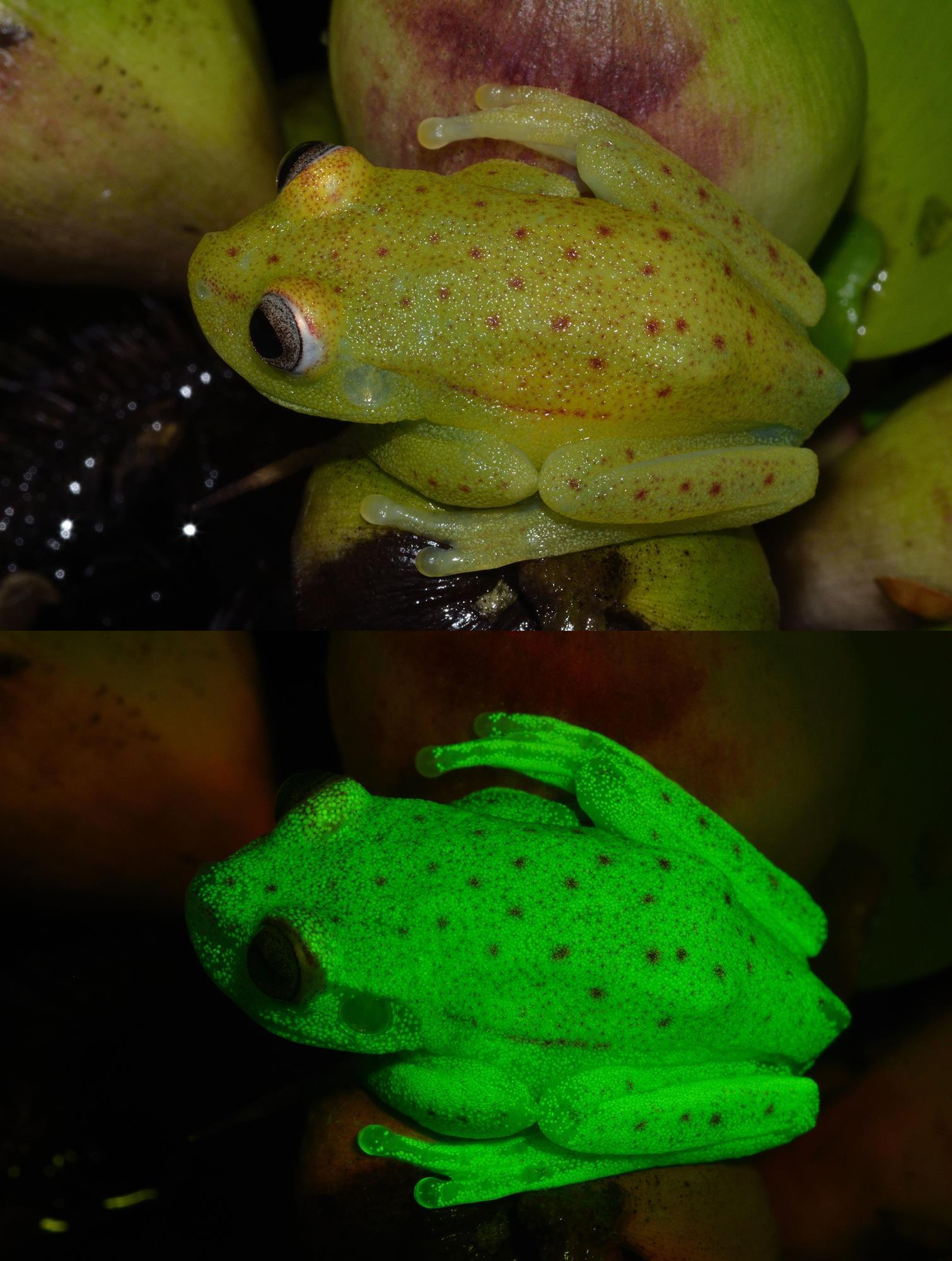 fluorescent frog first down to new molecule research chemistry