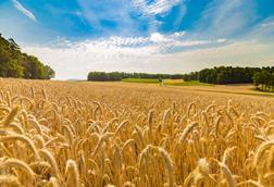 A photograph of a wheat field