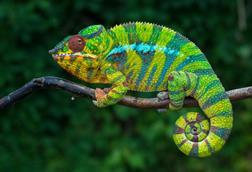 A picture of a chameleon