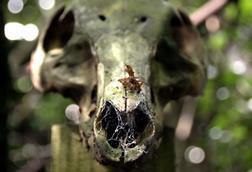 Pig skull at the body farm, Wrexham Glyndŵr University