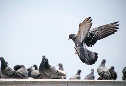A pigeon in flight