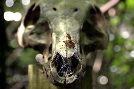 Pig skull at the body farm, Wrexham Glyndŵr University