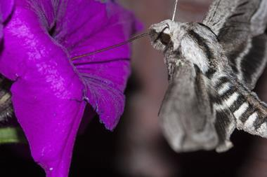pollination of a petunia by a moth