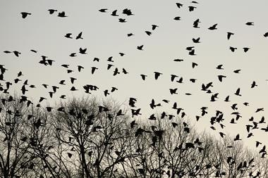 Crows flying over trees