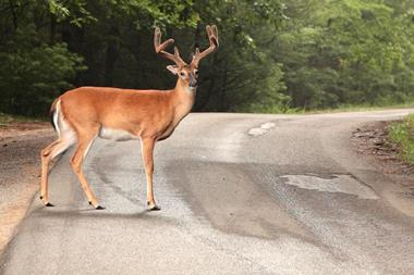 deer standing in the road