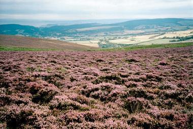 Sea of Heather on Dunkery, Exmoor