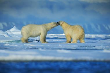 Polar bear couple cuddling on drift ice in artict Svalbard