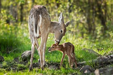 Picture of a white-tailed deer (Odocoileus virginianus) sniffing behind fawn's ears
