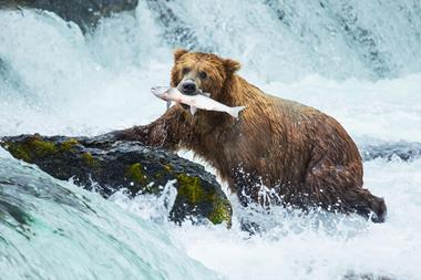 Grizzly bear with caught salmon in mouth - Index