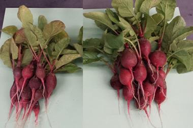 Two bunches of radishes, one grown naturally and one with the aid of the bionic leaf fertiliser system. The aided radishes are considerably larger than the naturally grown ones