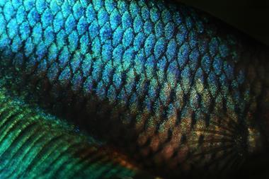 Close-up of iridescent fish scales