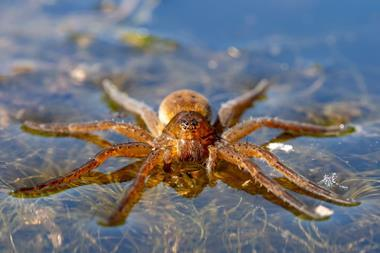 An image showing a diving bell spider