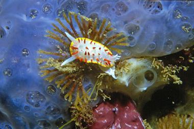 Photo of marine nudibranch Diaphorodoris papillata feeding on Bugula neritina