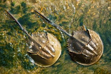 Horseshoe crabs in water