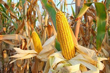maize corn growing in a field