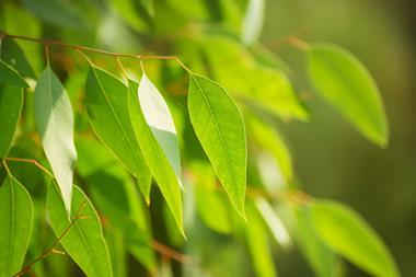 An image showing eucalyptus tree leaves