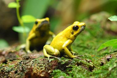 Two Phyllobates terribilis, a type of poison dart frog, in Zoo Zürich, Switzerland