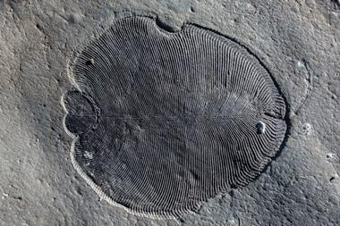 A photograph of an organically preserved Dickinsonia fossil from the White Sea area of Russia