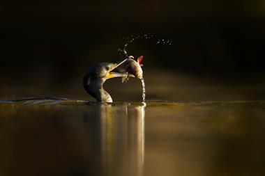 Cormorant with perch