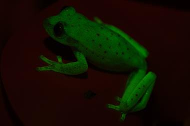 Fluorescent frogs  #7797 - Index