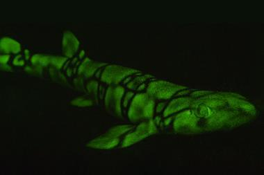 This image shows a glowing chain catshark.