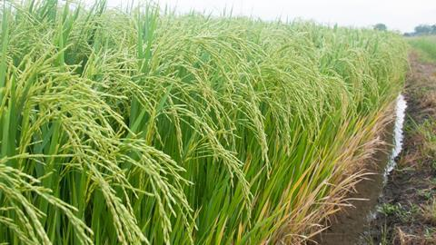 A photograph of a rice field