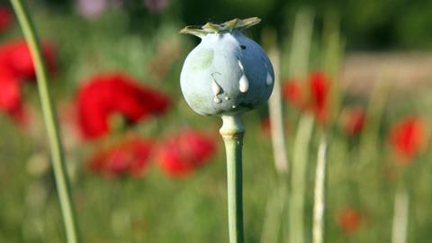 Opium poppy seed head - Hero