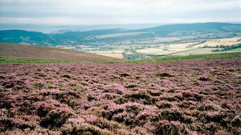 Sea of Heather on Dunkery, Exmoor