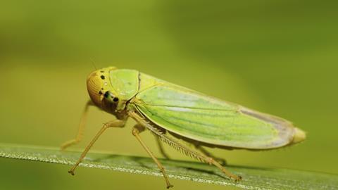 Caucasian green leafhopper Cicadella viridis sitting on a green leaf of a plant in summer
