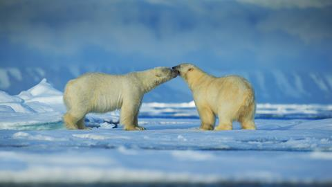 Polar bear couple cuddling on drift ice in artict Svalbard