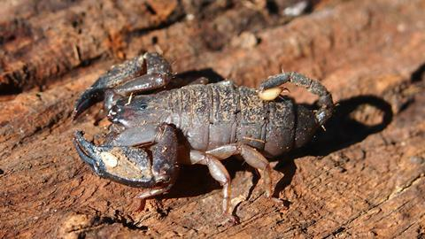 Australian rainforest scorpion (Liocheles waigiensis)