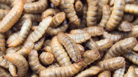 Black soldier fly larvae used for protein animal feed ingredient, Close up