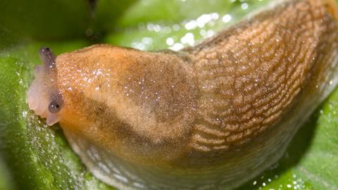 Slug, Dusky Arion, Arion subfuscus