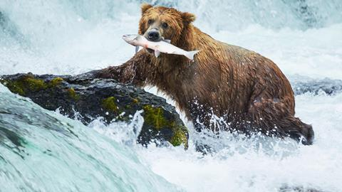 Grizzly bear with caught salmon in mouth - Hero