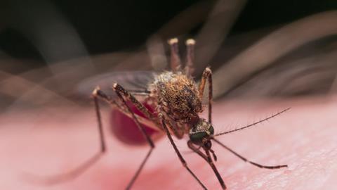 Mosquito, feeding