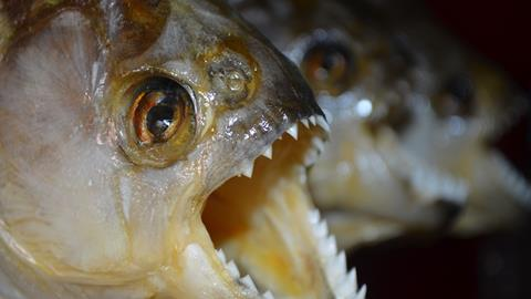 Red-bellied Piranha, mouth open to show the teeth