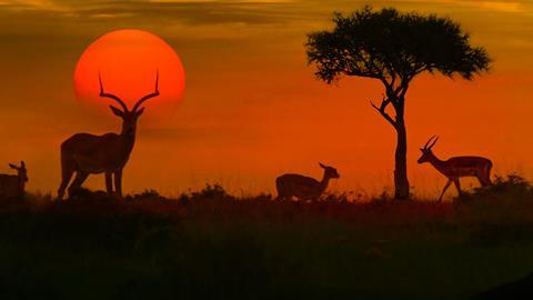 African safari sunset with silhouette