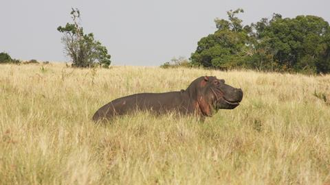 An image showing a hippo