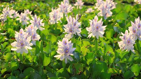 A photograph of some water hyacinths