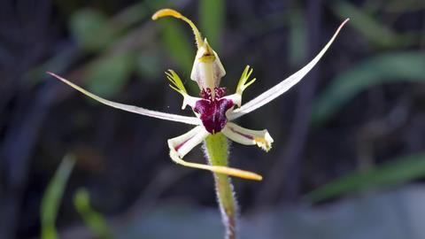 Mantis Orchid (Caladenia tentaculata) Baluk William Reserve, Lysterfield, Victoria, Australia