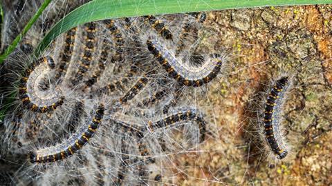 Thaumetopoea processionea. Oak processionary moth caterpillars