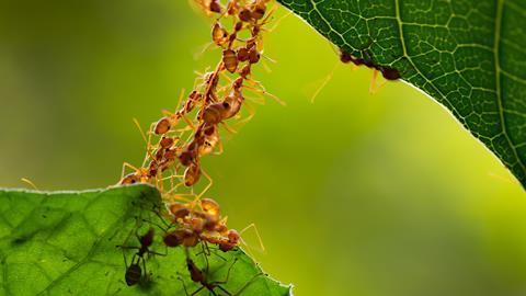 An image showing ants building a bridge