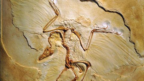 Archaeopteryx fossils