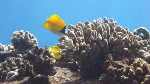 Longnose Butterflyfish in a beautiful coral reef.